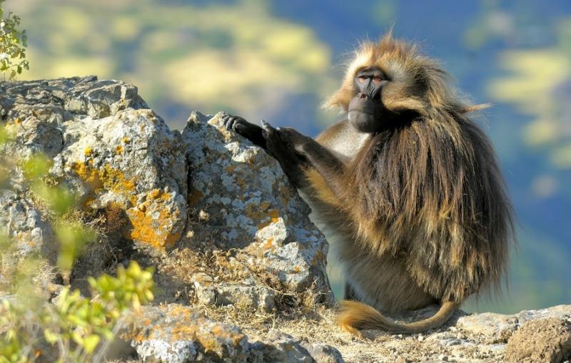 Gelada baboon sits on his rock