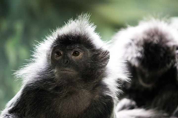 Two loving Langur monkeys
