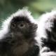 Two loving Langur monkeys