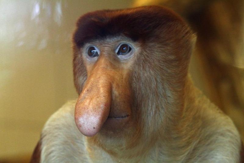 Beautiful portrait of a  Proboscis Monkey