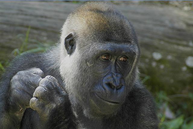Happy-gorilla