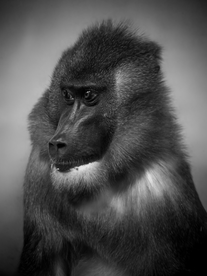 Stunning Mandrill at Edinburgh zoo