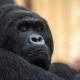Gorilla has the face of a boss