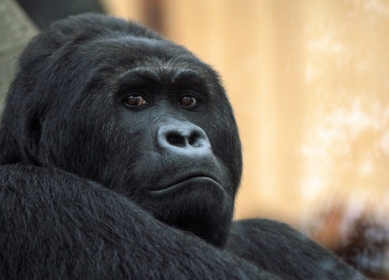 Gorilla has the face of a boss