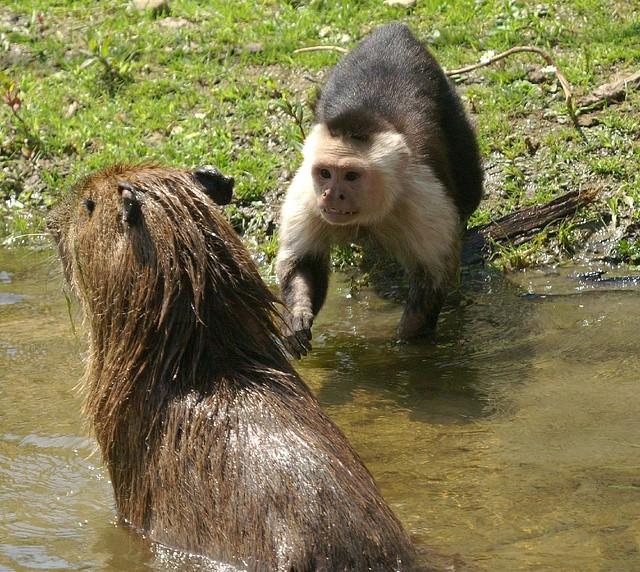 Capuchin-Capibara