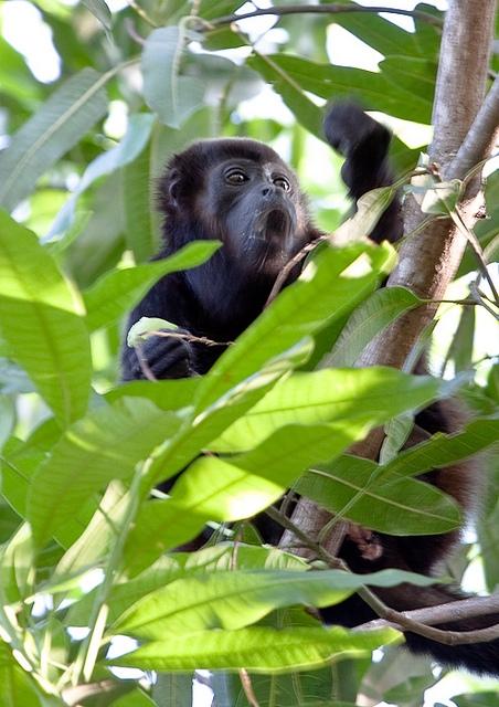 Mantled-Howler-Monkey-10
