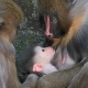 A loving Mandrill family
