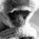 Moloch-Gibbon-at-Howletts