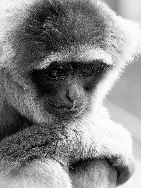 Moloch-Gibbon-at-Howletts
