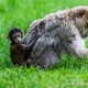 A baby Barbary macaque holds onto its mother