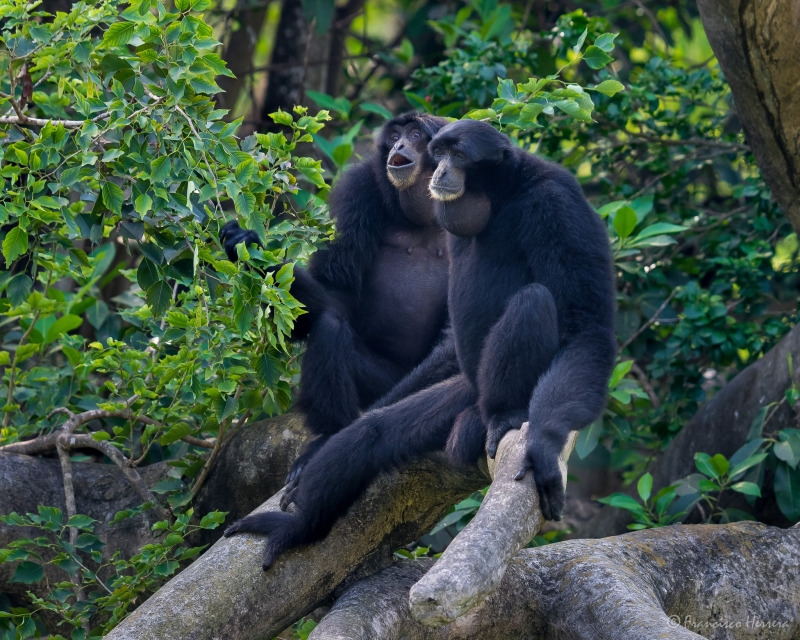 Siamang Gibbons together in Miami