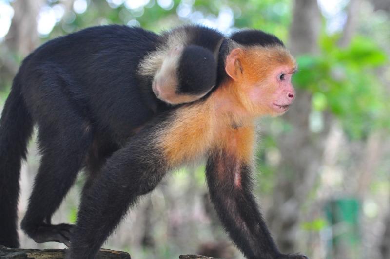 White Capuchin having a ride