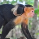 White Capuchin having a ride
