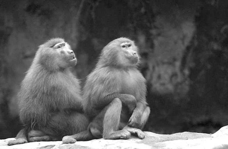 Two Baboons looking at the stars