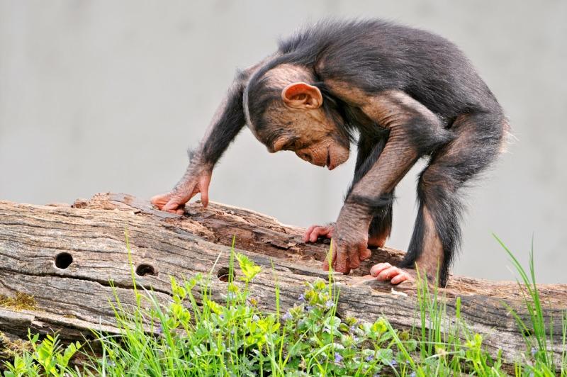The Gollum chimp