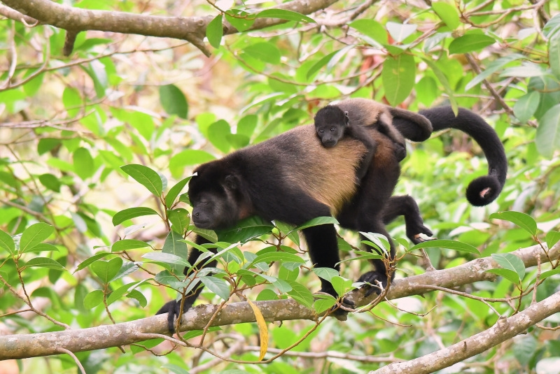 Howler Monkey in the Corcovado National Park