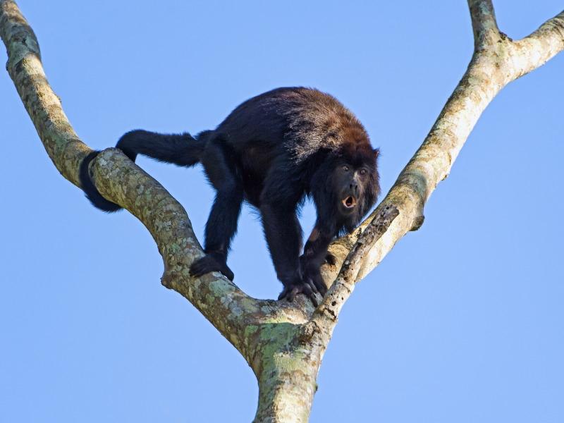 A male howler monkey on a dead tree, near the river.