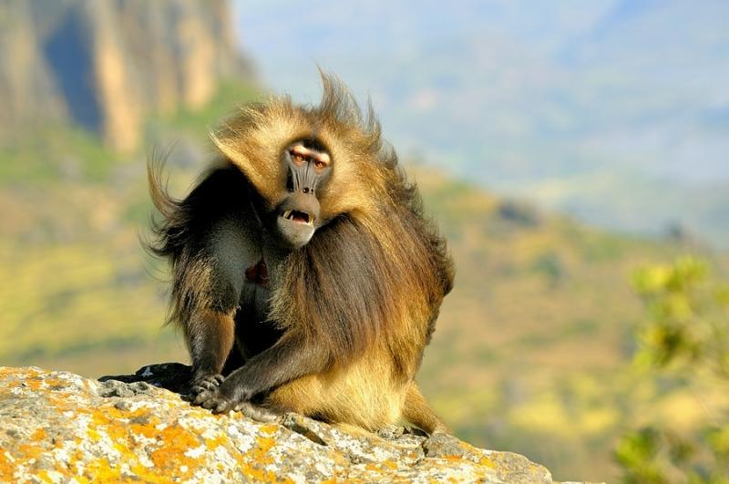 Ethiopian Baboon looking amazing