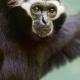 Black-gibbon