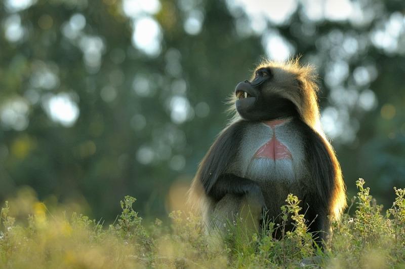 Splendid Gelada Baboon looking great