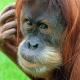 Orangutan taking a serious look