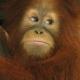Orangutan-19
