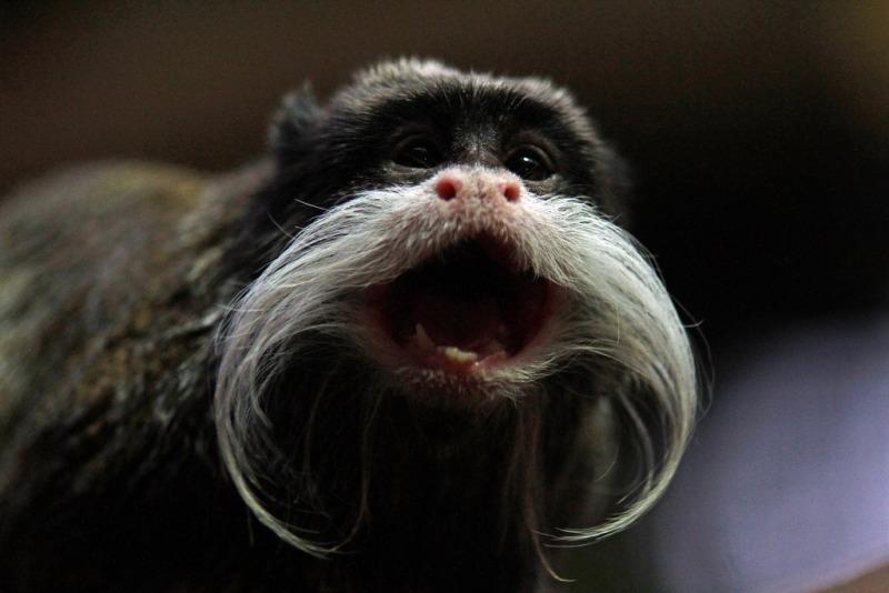 A Tamarin monkey shouting