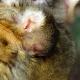 Nienke-met-de-eerste-baby-apenheul