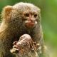 Pygmy-marmoset-2