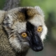 Red-fronted-Brown-Lemur