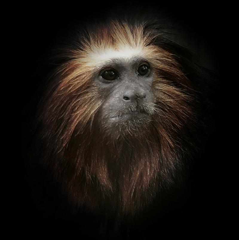 Golden face of a Tamarin monkey
