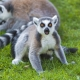 Surprised lemur in Switzerland