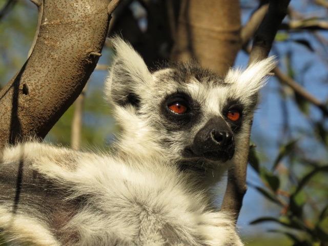 Look at my Lemur ears