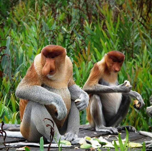 Labuk-Bay-proboscis-Couple