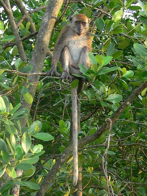 Long-tailed-Macaque-Kuala-Selangor