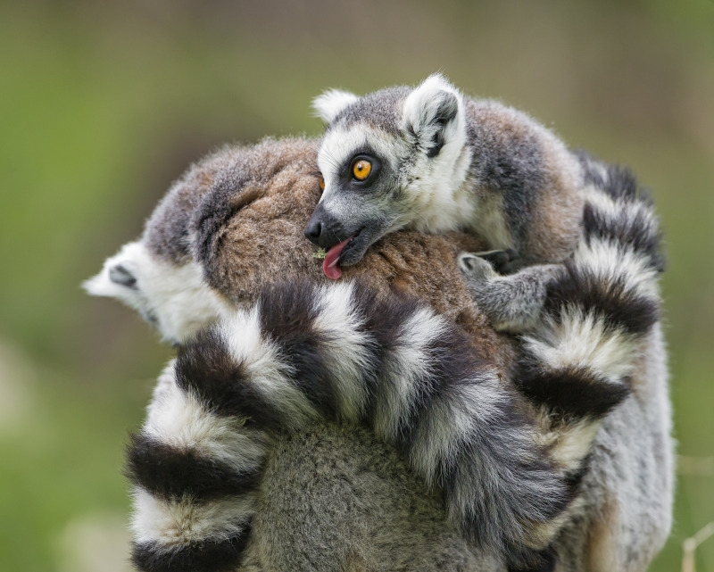 Cute scene of a baby lemur on his moms back!
