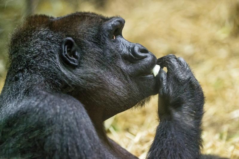 Eating female gorilla