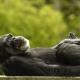 Chimpanzee-6