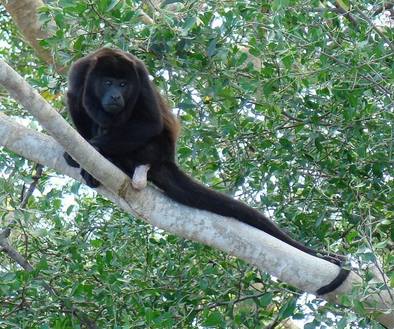Howler Monkey in Guanacaste Province