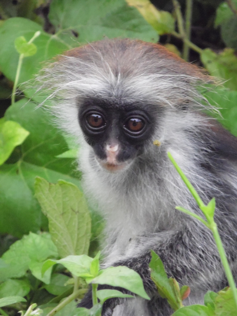 Baby Red Colobus