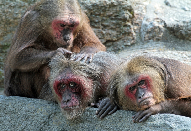 A lazy group of stump tailed macaque monkeys