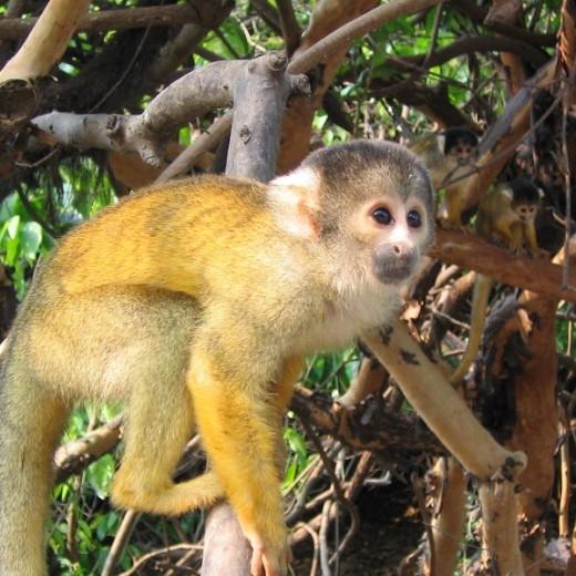 Squirrel-monkey-520x520