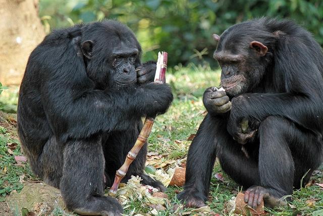 Happy-chimps