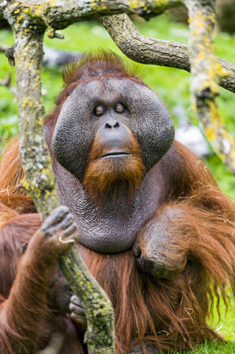 The male orangutan sitting and looking a bit funny!