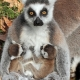 Baby Lemurs feeding from mum