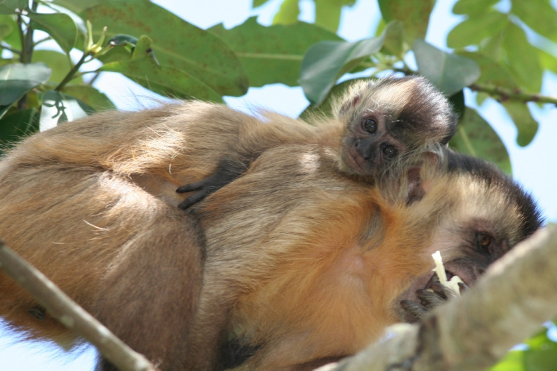Capuchin monkey  and his mother relaxing in a tree