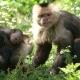 Capuchin-family