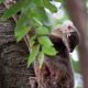 Colugo or Flying Lemur in his tree