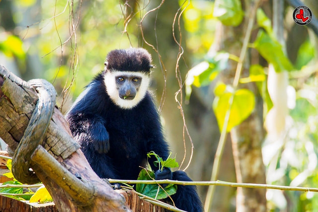 Northern-White-cheeked-Gibbon