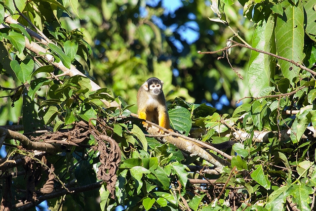 Squirrel-Monkey-Tree